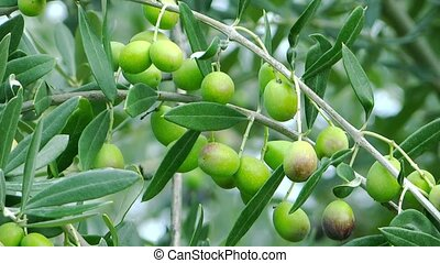 harvesting olives - Olives close up. Agriculture, harvest.