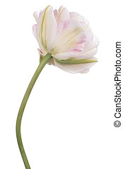 tulip - Studio Shot of Pink Colored Tulip Flower Isolated on...