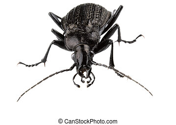 Black isolated bug with big feelers flook at camera,isolated...