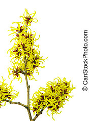 Hamamelis isolated 07