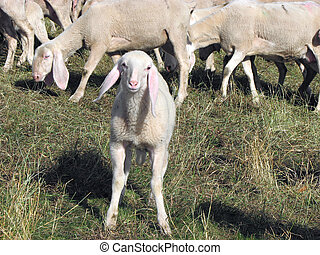 Lamb of the flock of sheep graze in the mountain
