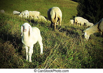 Lamb graze in the Meadow Hill - Lamb of the flock of sheep...