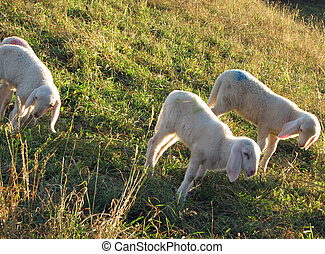 Lamb of the flock of sheep graze in the Meadow Hill