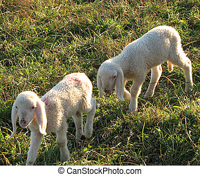 two little lambs graze in the Meadow Hill