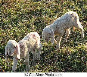 two little lambs graze in the Meadow Hill