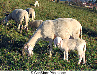 Young Lamb with mother sheep graze in the Meadow - Young...