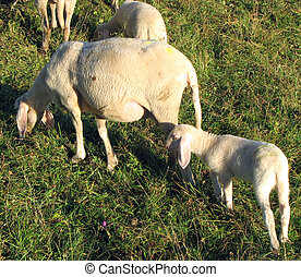 Lamb with mother sheep graze in the Meadow - Young Lamb with...