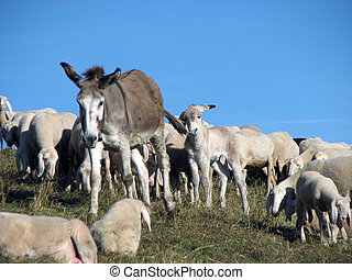 Donkey with Flock of sheep grazing in the mountains