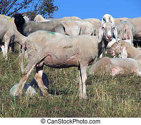 young sheep in the midst of the flock grazing on the Hill