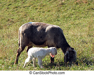 Young Lamb with sheep graze in the Meadow - Lamb with mother...