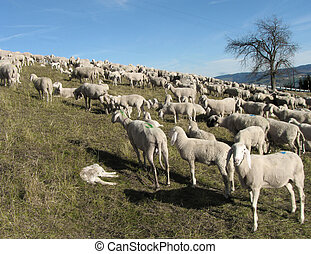 flock with many sheep grazing in the mountain - large flock...