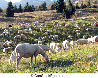 large flock with many sheep grazing in the mountain - large...