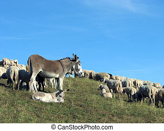 Donkey with the flock of sheep to graze in the mountains