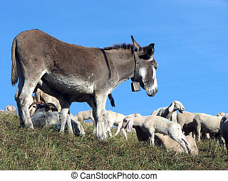 donkey out to pasture with a herd of sheep in the mountains