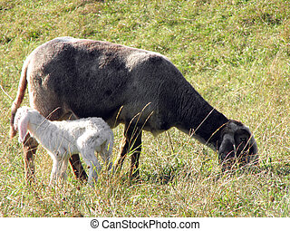 Young Lamb with mother graze in the Meadow - Lamb with...