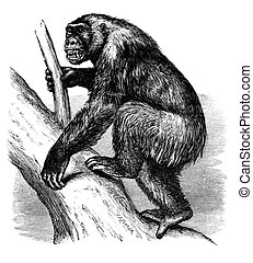 Gorilla - An engraved image of an African gorilla from the...