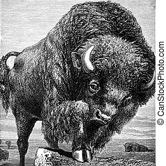 American Bison - An engraved image of an American bison from...