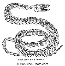 Skeleton Of A Python - An engraved image of a python...