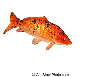 Mounted Koi Carp isolated with clipping path