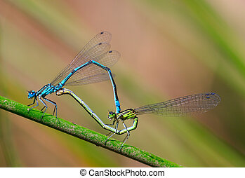 Damselfly sex - coenagrion puella - macro detail of insect...