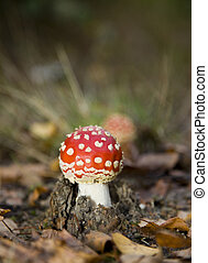 fly agaric in autumn scene - very young fly agaric on the...