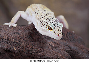 Leopard Gecko - a picture of a fantastic leopard gecko