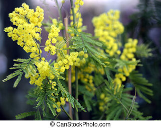 flowers of mimosa acacia tree in spring