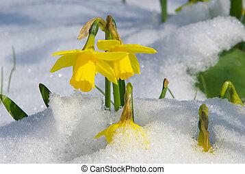 dafodil 03 - daffodil 03