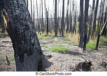 After Forest Fire - Kaibab National Forest Arizona USA