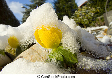 Winter aconite - winter aconite  with ice and snow
