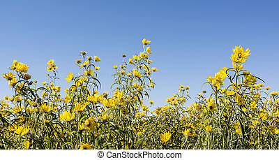 Giant Sunflower - Photo of a field of Giant Sunflowers,...