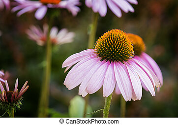 Purple Coneflowers - Beautiful photo of a blooming Purple...
