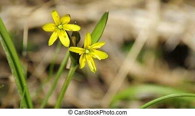 Star of Bethlehem, flower of the German spring