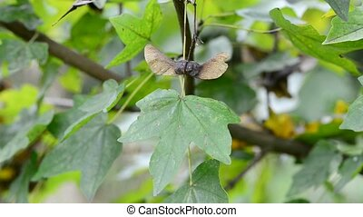 Field maple tree