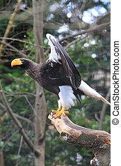 Stellar's Sea Eagle - Sea Eagle