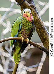 Cuban Amazon Parrot - Closeup photo of a beautiful and...