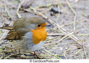 Redbreast - one beutiful lonely bird in family redbreast
