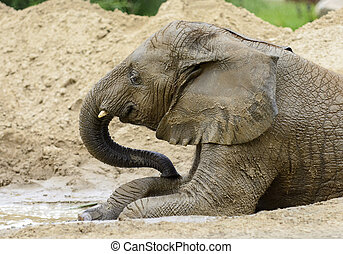 African Elephant - Photo of a young male African Elephant...