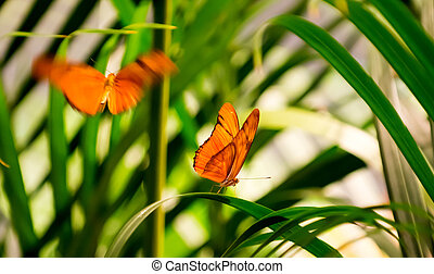 Julia Butterflies - Two Julia Butterflies in a butterfly...