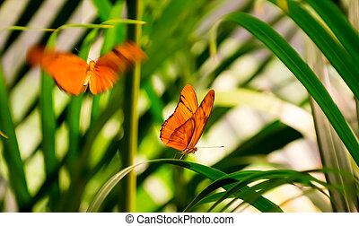 Julia Butterflies - Two Julia Butterflies in a butterfly...