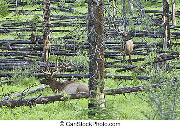 Bull Elks - Two bull Elk grazing on some grass Seen in Banff...