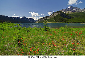Canadian Rockies - Indian Paintbrush Wildflowers in bloom at...