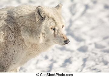 White Wolf - A closeup photo of a beautiful White Wolf in a...