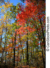 Colorful Autumn trees - Colorful trees in the Allegheny...