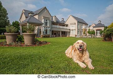 Golden Retriever Relaxing - Golden Retriever at Home, lying...
