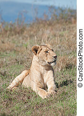 Lioness Lying Down - A lioness rests in the grass on a hill...
