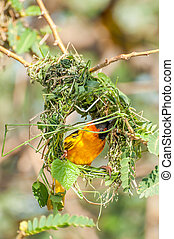 Weaver Bird Building Nest - A male weaver bird bussy...