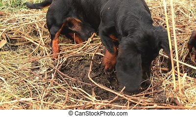 Dachshund dog hunting for moles in the garden ground covered...