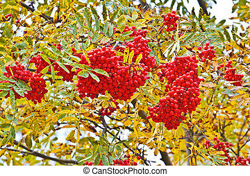ashberry - ripe red berries and yellow leaves of mountain...