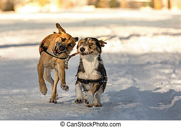 Animal dowser - Two dogs running through the snow with a...